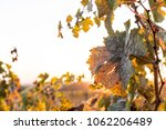 autumn vineyard with sunset | Shutterstock . vector #1062206489