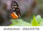 Golden Helicon Butterfly In...