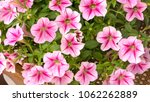 pink flowers ipomoea background    Shutterstock . vector #1062262889