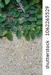 green creeper plant on concrete ...   Shutterstock . vector #1062265529