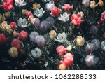 colorful tulip fields in the... | Shutterstock . vector #1062288533