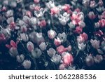 colorful tulip fields in the... | Shutterstock . vector #1062288536