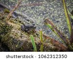 green frog sitting by a pond | Shutterstock . vector #1062312350
