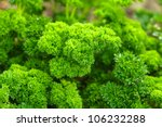 Curly Parsley Leaves Closeup I...