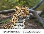 amur leopard  panthera pardus... | Shutterstock . vector #1062380120