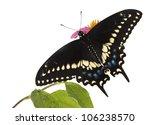 Butterflies Eastern Black...