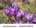 beautiful violet crocus flowers ... | Shutterstock . vector #1062413834