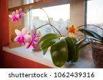 beautiful rare orchid in a pot...   Shutterstock . vector #1062439316