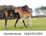 exmoor pony mother and foal... | Shutterstock . vector #1062451394