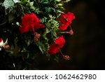 red hibiscus family | Shutterstock . vector #1062462980