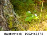 Two White Mayflowers Growing I...