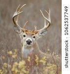 Trophy Whitetail Buck In...