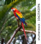 a group of red macaws  ara... | Shutterstock . vector #1062542096