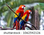 a group of red macaws  ara... | Shutterstock . vector #1062542126