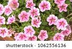 pink flowers ipomoea background   Shutterstock . vector #1062556136