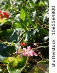 Small photo of Oenothera lindheimeri or gaura pink flowers with green grass