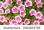 pink flowers ipomoea background  | Shutterstock . vector #1062601769