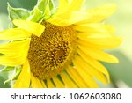 close up sunflower blooming  ... | Shutterstock . vector #1062603080