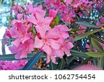 Close Up View Pink Oleander Or...