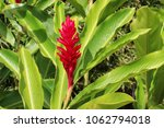 Small photo of Red Alpinia blossom surrounded by bright green leaves
