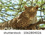 the african leopard is the... | Shutterstock . vector #1062804026
