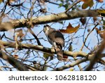 Small photo of African Goshawk in a tree