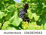 bunches of black grapes in... | Shutterstock . vector #1062824063