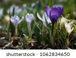 blooming purple and blue... | Shutterstock . vector #1062834650