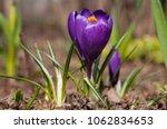 single blooming purple flower...   Shutterstock . vector #1062834653