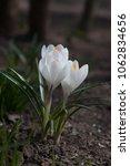 blooming white flowers crocuses....   Shutterstock . vector #1062834656