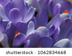 blooming purple flowers... | Shutterstock . vector #1062834668