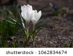 three blooming white flowers... | Shutterstock . vector #1062834674