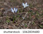 two blooming blue flowers...   Shutterstock . vector #1062834680