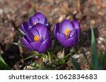three blooming purple flowers...   Shutterstock . vector #1062834683