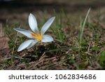 single blooming blue flower...   Shutterstock . vector #1062834686