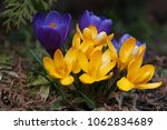 blooming purple and yellow...   Shutterstock . vector #1062834689