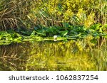 white water lilies in the... | Shutterstock . vector #1062837254