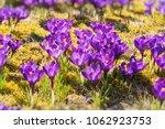 spring field with crocus...   Shutterstock . vector #1062923753