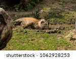 Adult Red River Hog In Zoo...