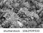 black and white succulents in... | Shutterstock . vector #1062939533