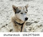 Dog On The Beach  Husky With...