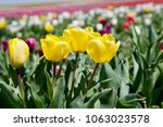 tulip flower. beautiful bouquet ... | Shutterstock . vector #1063023578