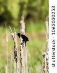male red winged blackbird...   Shutterstock . vector #1063030253