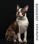 boston terrier dog on isolated... | Shutterstock . vector #1063050458