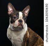 boston terrier dog on isolated... | Shutterstock . vector #1063050650