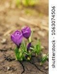 single blooming purple flower...   Shutterstock . vector #1063074506