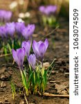 single blooming purple flower...   Shutterstock . vector #1063074509