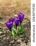 single blooming purple flower...   Shutterstock . vector #1063074530