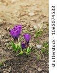 single blooming purple flower...   Shutterstock . vector #1063074533