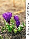 single blooming purple flower...   Shutterstock . vector #1063074536